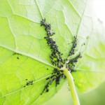 Cultivos - plaga de áfidos